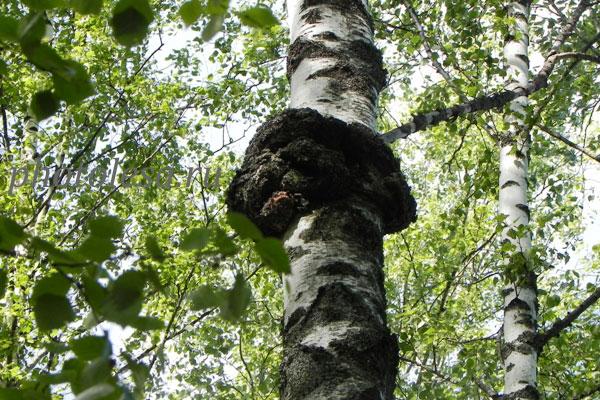 Березовый гриб чага - фото